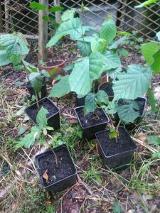Ash saplings ready for re-planting in the woodland